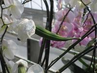 胡蝶蘭の種.JPG