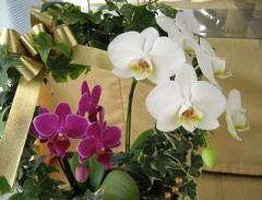 胡蝶蘭のナフト コラム