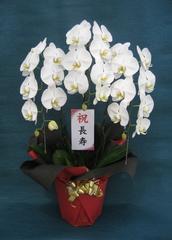 胡蝶蘭のナフト 生産者コラム